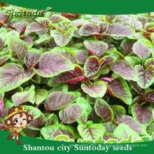 Suntoday donde comprar la herencia código hs empresas de agricultura organicvegetable semillas y plantas semillas de amaranto jardín (A40002)