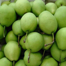Venta caliente nueva cosecha de pera Shandong