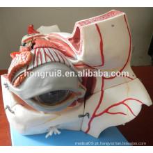 Globo ocular e órbita ISO Deluxe com vasos e nervos