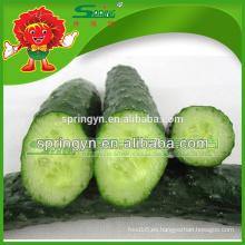 Venta al por mayor pepino fresco gran oferta verde de la juventud pepino