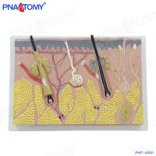 PNT-0551 ampliou o modelo anatômico amplificado da pele humana ampliada da estrutura para ensinar