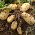Bangla Frees Kartoffel / New Corps Bangladesh frische Kartoffel