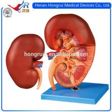 Modèle anatomique du rein humain ISO