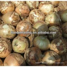 Chinês onin colheita 2012