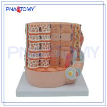 PNT-0338-2 Modèle d'enseignement médical anatomique des fibres musculaires squelettiques