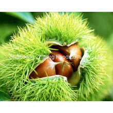 Organic Fresh Raw Chestnut