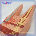 PNT-0476 Direct factory Intestinal villi organize model for students and doctors