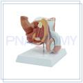 PNT-0572 life size 4 parts male genitals model