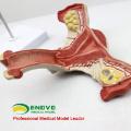 SELL 12443 Model Uterus Show Female Genital Structures Uterine Anatomy Model