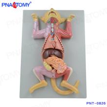 PNT-0826 Modèle anatomique de chat grandeur nature