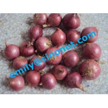 Nueva cebolla fresca púrpura 5-7cm