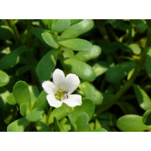 Bacopa Monniera Extract Powder CAS No .: 93164-89-7