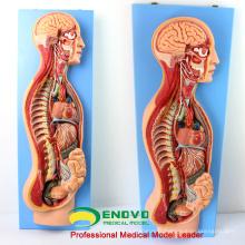 BRAIN17 (12415) Système anatomique sympathique humain modèle anatomique pour l'éducation médicale