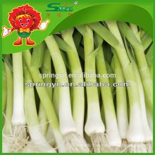Hoja de ajo entero Spicing verduras frescas