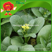 Bulk Chinese flowering cabbage price top quality cabbage