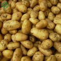 Frischgemüse-Kartoffel Bangladesh / frische Kartoffel der neuen Ernte
