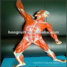 ISO 50cm Modèle des muscles humains (anatomie musculaire en état de mouvement)