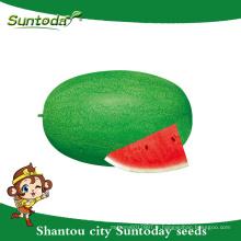 Suntoday resiant à la chaleur froide heirloom vert améliorer les fruits à planter des semences image végétale hybride F1 eau melon graines soudan