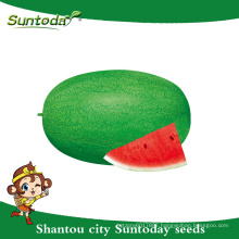 Suntoday resiant to heat cold green heirloom improve fruit to plant seed image vegetable hybrid F1 water melon seeds sudan