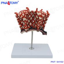 PNT-04152 modelo de corpo humano lobuli pulmonum modelo de alvéolos pulmonares