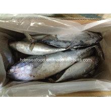 Todo el pescado IQF Bonito (750g +)