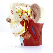 BRAIN21 (12419) Medical Science Model Nervos da Cabeça com Nervo Trigêmeo e Ramos