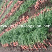 Zanahoria Roja Fresca Del área De Shandong