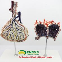 LUNG07 (12504) Modelo anatômico humano Lóbulo e alvéolo do pulmão, modelos de anatomia> Respiratório