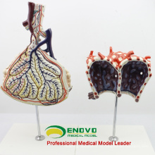 LUNG07(12504) анатомическая модель человеческого дольки и Альвеолы , модели анатомии легких > респираторных