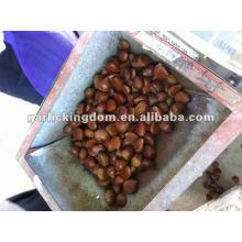 40-60pcs / kg Castanha fresca