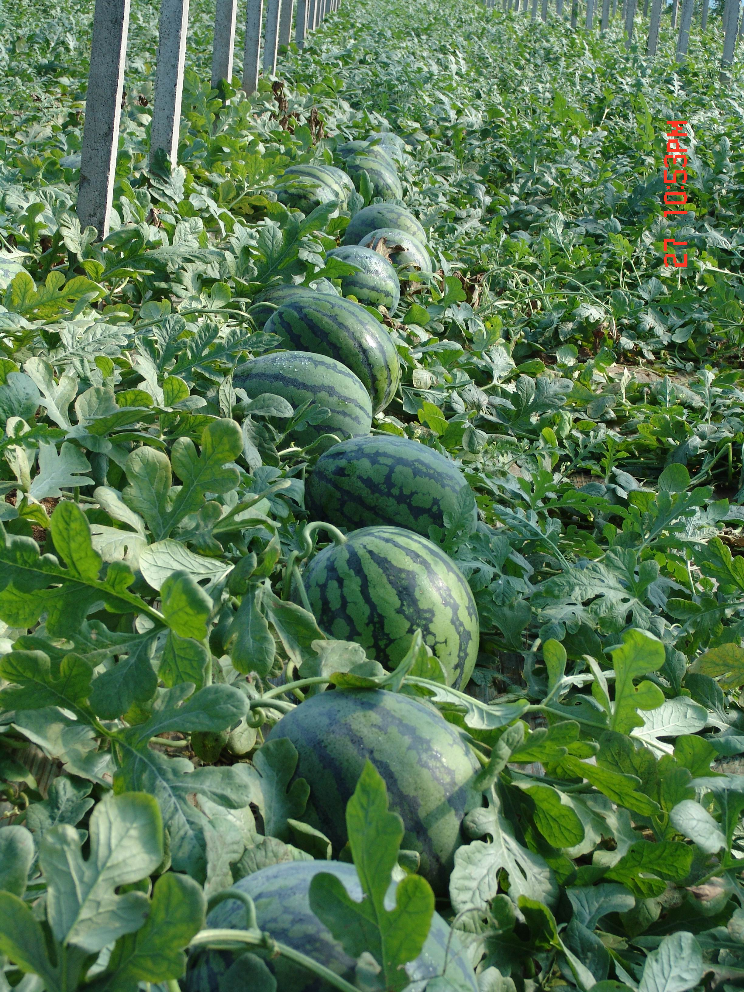 Seedless Watermelon Seeds Sale