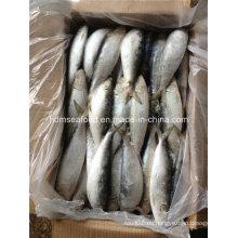 Congelado gran especificación pescado fresco de sardina