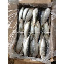 Frozen Big Specification Fresh Sardine Fish