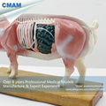 A07(12006) Plastic Veterinarian's Pig Anatomical Acupuncture Models 12006