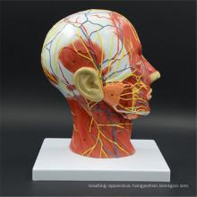 Premium quality brain anatomy
