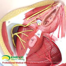 ANATOMY24 (12462) Klinische Medizin Life Size Anatomie und Biologie Bildung Female Perineum Model