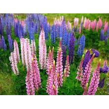 Beautiful Colorful Lupin Flower