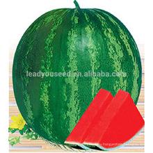 W06 Quanxin большой размер бессемянные гибридные семена арбуза посадка