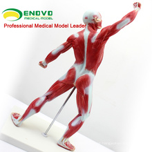 Músculos Masculinos Tamanho MUSCLE05 (12028) e Modelo de Anatomia Skleton 12028