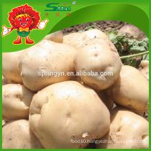 high quality fresh yellow potato on sale fresh russet potato
