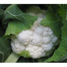 Semillas de coliflor híbrida blanca RCF38 JB f1