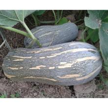 HPU11 Kuangba hammer orange F1 semillas de calabaza híbridas