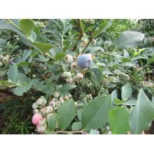 Congelamento rápido individual Organic Blueberry Zl-1077