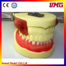 High quality Teeth Anatomical Model Plastic Dental Model of Teeth