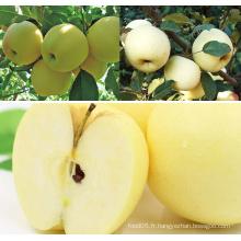 Golden Delicious Apple Fresh Apple