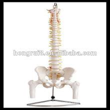 Colonne vertébrale de taille Life ISO avec tête de pelvis et fémur, modèle de colonne vertébrale, HR-126
