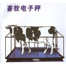 Échelle de bovins avec forte clôture
