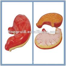 Modèle ISO anatomie de l'estomac humain HR-306