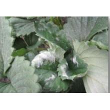 Pesticide botanique contre le mildiou pulvérulent sur les fraises