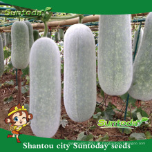 Suntoday comprar semillas de hortalizas semillas de jardín en línea para la venta semillas de melón cera chiqh gua orgánico (19006)